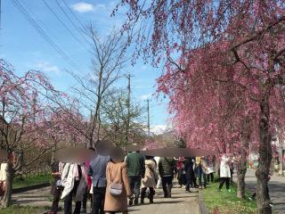 日中線桜並木
