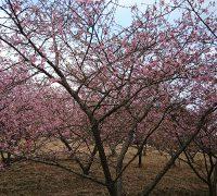 茨城・河津桜
