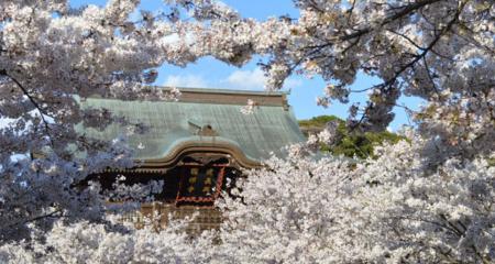 建長寺と桜