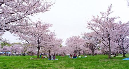舎人公園・桜