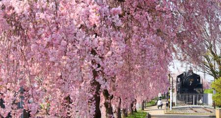 日中線しだれ桜