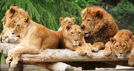 サファリ・ライオン