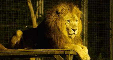 ナイトサファリ ライオン