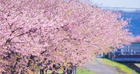 函南河津桜