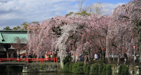 三嶋大社と桜