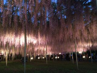 藤の花ライトアップ