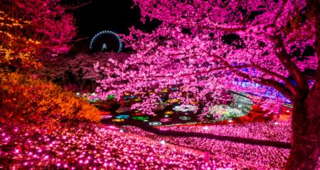 夜桜イルミ