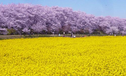 権現堂の桜と菜の花