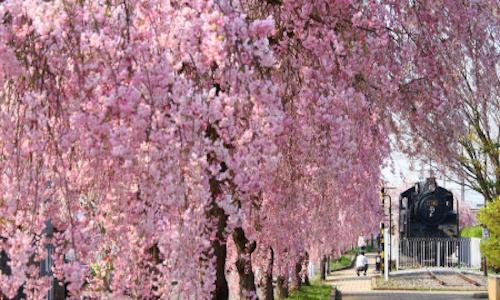 しだれ桜&SL